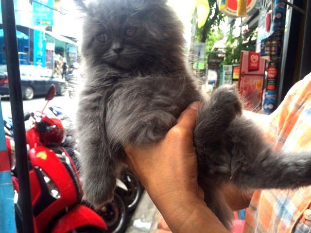 flaffy cat