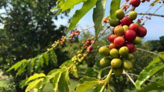 コナコーヒーのコーヒー農園に行ってみよう♪